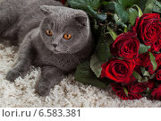 Купить «Красивый британский кот и много красных роз», фото № 6583381, снято 16 августа 2018 г. (c) Останина Екатерина / Фотобанк Лори