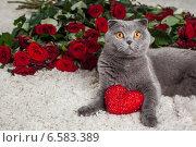 Купить «Красивый британский кот и много красных роз», фото № 6583389, снято 15 января 2019 г. (c) Останина Екатерина / Фотобанк Лори