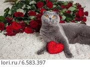 Купить «Красивый британский кот и много красных роз», фото № 6583397, снято 16 января 2019 г. (c) Останина Екатерина / Фотобанк Лори