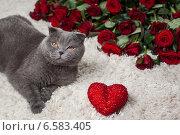 Купить «Красивый британский кот и много красных роз», фото № 6583405, снято 16 января 2019 г. (c) Останина Екатерина / Фотобанк Лори