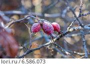 Шиповник зимой. Стоковое фото, фотограф Владимир Судник / Фотобанк Лори
