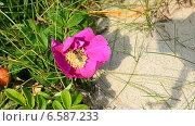Купить «Оса собирает нектар с цветка и улетает», видеоролик № 6587233, снято 26 октября 2014 г. (c) Сергей Трофименко / Фотобанк Лори