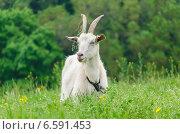 Купить «Коза на лужайке», фото № 6591453, снято 11 мая 2014 г. (c) Паровышник Наталья / Фотобанк Лори