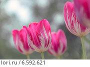 Купить «Красные тюльпаны», фото № 6592621, снято 17 мая 2014 г. (c) Валерий Боярский / Фотобанк Лори