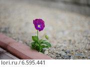 Одинокий цветок фиалки на тротуаре. Стоковое фото, фотограф Алена Зубакова / Фотобанк Лори