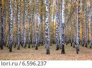 Русские берёзы. Стоковое фото, фотограф Андрей Кудряшов. / Фотобанк Лори