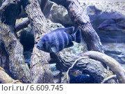 Купить «Красивые полосатые рыбы в аквариуме», фото № 6609745, снято 19 июня 2014 г. (c) Володина Ольга / Фотобанк Лори