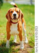 Собака породы Бигль на лугу. Стоковое фото, фотограф g.bruev / Фотобанк Лори