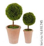 Два круглых декоративных зеленых дерева в горшках. Стоковое фото, фотограф Vladnad / Фотобанк Лори