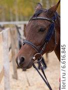 Купить «Портрет лошади крупным планом», фото № 6616845, снято 9 октября 2014 г. (c) Алексей Назаров / Фотобанк Лори