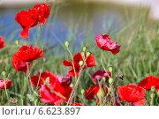 Красный мак в траве (2014 год). Стоковое фото, фотограф Катерина Вахе / Фотобанк Лори