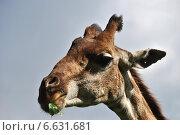 Купить «Голова Африканского жирафа», эксклюзивное фото № 6631681, снято 4 сентября 2014 г. (c) lana1501 / Фотобанк Лори