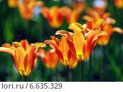 Оранжево-красные красивые тюльпаны. Стоковое фото, фотограф lana1501 / Фотобанк Лори
