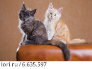 Купить «Два котенка породы мейн-кун», фото № 6635597, снято 5 августа 2014 г. (c) Gagara / Фотобанк Лори