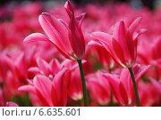 Купить «Малиновые красивые тюльпаны крупным планом», эксклюзивное фото № 6635601, снято 20 мая 2010 г. (c) lana1501 / Фотобанк Лори