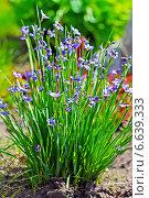 Купить «Сисиринхиум узколистный (Sisyrinchium angustifolium). Многолетнее травянистое растение семейства Ирисовые (Iridaceae).», эксклюзивное фото № 6639333, снято 25 июня 2013 г. (c) Евгений Мухортов / Фотобанк Лори