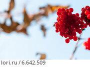 Гроздь калины. Стоковое фото, фотограф Давид Арутюнов / Фотобанк Лори
