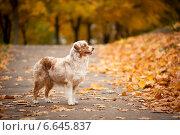 Собака и осень. Стоковое фото, фотограф Дарья Июньская / Фотобанк Лори