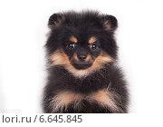 Черный щенок шпица. Стоковое фото, фотограф Дарья Июньская / Фотобанк Лори