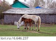 Купить «Лошадь и жеребенок в деревне», эксклюзивное фото № 6646237, снято 10 мая 2014 г. (c) Анатолий Матвейчук / Фотобанк Лори