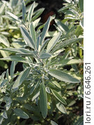 Купить «Шалфей лекарственный (Salvia officinalis)», эксклюзивное фото № 6646261, снято 1 октября 2014 г. (c) Ната Антонова / Фотобанк Лори