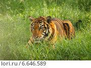 Затаившийся тигр в траве. Стоковое фото, фотограф Попов Роман / Фотобанк Лори