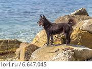 Купить «Черный пёс стоит на камне на берегу Черного моря», фото № 6647045, снято 28 августа 2014 г. (c) Владимир Сергеев / Фотобанк Лори