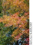Яркие листья клена осенью. Стоковое фото, фотограф Илюхина Наталья / Фотобанк Лори