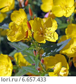 Купить «Энотера кустарниковая  (Oenothera fruticosa L. ). Цветы крупно», эксклюзивное фото № 6657433, снято 12 июля 2013 г. (c) Евгений Мухортов / Фотобанк Лори