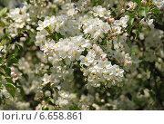 Белые цветы вишни на ветке весной. Стоковое фото, фотограф lana1501 / Фотобанк Лори