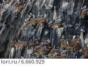 Купить «Птичий базар на скалах Земли Франца-Иосифа», фото № 6660929, снято 3 августа 2013 г. (c) Николай Гернет / Фотобанк Лори