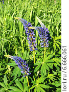 Купить «Люпин многолистный (лат. Lupinus polyphyllus)», эксклюзивное фото № 6666061, снято 6 июня 2011 г. (c) lana1501 / Фотобанк Лори