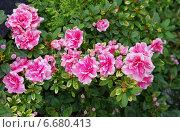 Купить «Розовые декоративные цветы. Азалия», фото № 6680413, снято 1 ноября 2014 г. (c) Илюхина Наталья / Фотобанк Лори