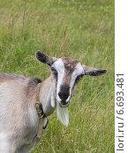 Купить «Коза на фоне травы», фото № 6693481, снято 24 июня 2014 г. (c) Цветкова Елена / Фотобанк Лори