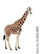 Купить «Жираф на белом фоне», фото № 6693489, снято 22 июня 2012 г. (c) Надежда Болотина / Фотобанк Лори
