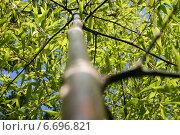 Купить «Вид снизу на листья бамбука», фото № 6696821, снято 17 августа 2014 г. (c) Игорь Мошкин / Фотобанк Лори