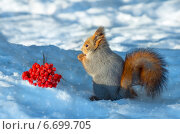 Купить «Белка на снегу с гроздью рябины», фото № 6699705, снято 8 ноября 2014 г. (c) Икан Леонид / Фотобанк Лори