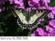 Бабочка Парусник махаон (Papilio machaon) сидит на цветке. Стоковое фото, фотограф Алексей Гусев / Фотобанк Лори