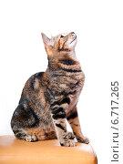 Купить «Красивая разноцветная кошка смотрит вверх», эксклюзивное фото № 6717265, снято 20 ноября 2014 г. (c) Куликова Вероника / Фотобанк Лори