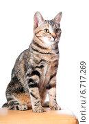 Купить «Красивая сидящая кошка», эксклюзивное фото № 6717269, снято 20 ноября 2014 г. (c) Куликова Вероника / Фотобанк Лори
