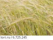 Пшеничное поле. Стоковое фото, фотограф Юлия Костюшина / Фотобанк Лори