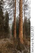 Деревья, уничтоженные короедом. Стоковое фото, фотограф Aleksander Terlyakov / Фотобанк Лори