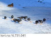 Купить «Галка, Corvus monedula, Jackdaw», фото № 6731041, снято 28 января 2012 г. (c) Василий Вишневский / Фотобанк Лори