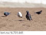 Купить «Голубь сизый, Columba livia, Rock Dove», фото № 6731641, снято 22 апреля 2014 г. (c) Василий Вишневский / Фотобанк Лори