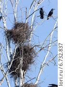 Купить «Гнезда грачей и грачи на ветках дерева на фоне неба», фото № 6732837, снято 19 мая 2013 г. (c) Василий Вишневский / Фотобанк Лори