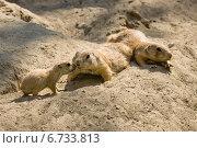 Купить «Gopher with cubs», фото № 6733813, снято 19 июля 2014 г. (c) Sergey Kohl / Фотобанк Лори