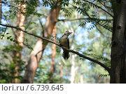 Пестрый дятел. Стоковое фото, фотограф Евгений Виноградов / Фотобанк Лори