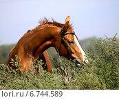Рыжая лошадь выглядывает из высокой травы. Стоковое фото, фотограф Елена Зенкович / Фотобанк Лори