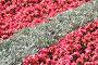 Цинерария приморская, или крестовник приморский (лат. C. maritima) и Бегония (лат. Begonia), эксклюзивное фото № 6749661, снято 6 июля 2014 г. (c) lana1501 / Фотобанк Лори