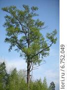 Одинокое дерево. Стоковое фото, фотограф Василий Васильев / Фотобанк Лори